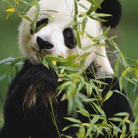 Gerry Ellis - Giant Panda Eating Bamboo