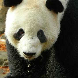 Emmy Marie Vickers - Giant Panda Tian Tian