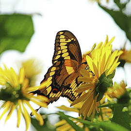 Debbie Oppermann - Giant Swallowtail In Morning Light