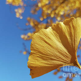 R V James - Ginkgo Gold and sapphire sky