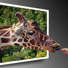 Giraffe Feeding Out of Frame by Bill Swartwout Photography