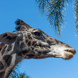 Giraffe by John Johnson