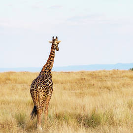 Giraffe Walking in Kenya Africa - Vertical - Susan Schmitz