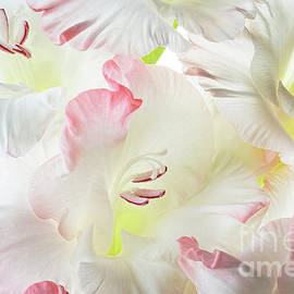 Gladiolus Candy Floss by Ann Garrett