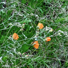 Globe Mallow in Grassy Field by Bonnie See