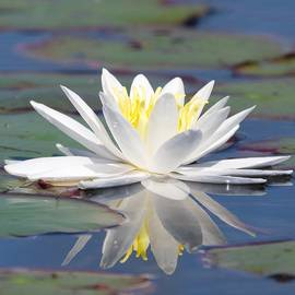 Michael Peychich - Glorious White Water Lily
