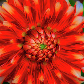 Glowing Dahlia - Garry Gay