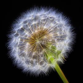 Glowing Dandelion - Garry Gay