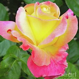 Cindy Treger - Glowing From Within - Rose