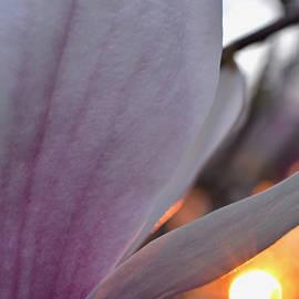 Richard Andrews - Glowing Magnolia