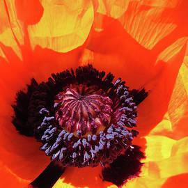 Eye Popping Oriental Poppy - Images from the Garden - Oriental Poppy Art by Brooks Garten Hauschild