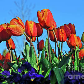 Glowing Tulips against Blue Sky