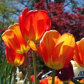 Carrie Goeringer - Glowing Tulips