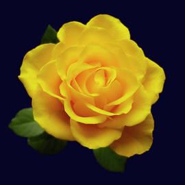 Johanna Hurmerinta - Glowing Yellow Rose On Blue