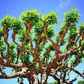Anna Serebryanik - Gnarly Tree of San Francisco
