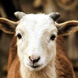 Sandi Kroll - Goat
