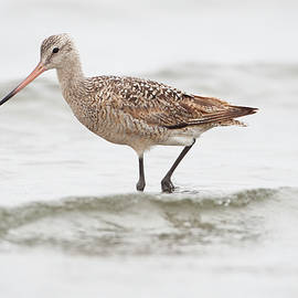 Godwit playing in the ocean by Ruth Jolly