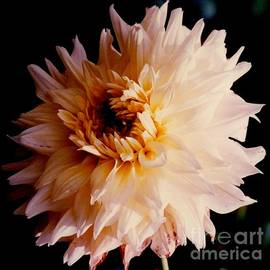 Jane Gatward - Gold Blushed Dahlia Bloom