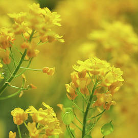 Golden Alyssum Close Up by Jenny Rainbow
