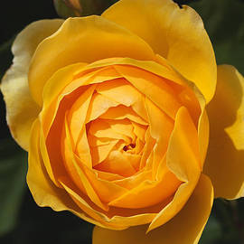 Joy Watson - Golden And Rich Beautiful Rose