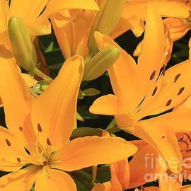 Dora Sofia Caputo Photographic Design and Fine Art - Golden Asiatic Lilies