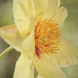 Golden Bowl Tree Peony Bloom - Profile by Patti Deters