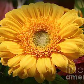Dora Sofia Caputo Photographic Art and Design - Golden Daisy in Full Bloom