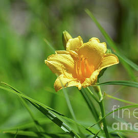 Ruth Housley - Golden Daylily