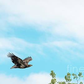 Golden Eagle Flying by Les Palenik