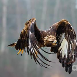 Golden Eagle - Juvenile by CJ Park