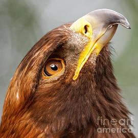 Sue Harper - Golden Eagle - Sky Gazer