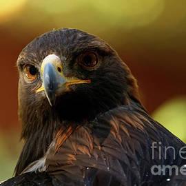 Sue Harper - Golden Eagle - Stare Back