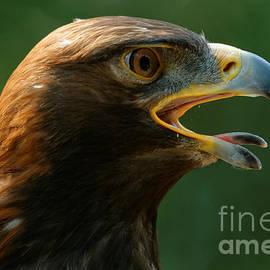 Golden Eagle - Summer Heat by Sue Harper