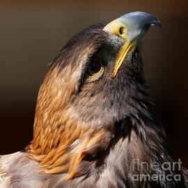 Golden Eagle Upwards by Sue Harper