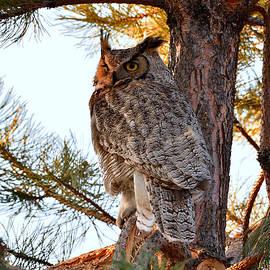 Michael Morse - Golden Hour Owl