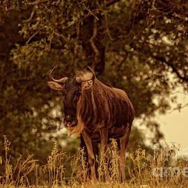 Golden Hour Wildebeest by Douglas Barnard