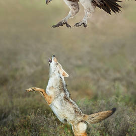 Golden Jackal, Canis aureus, leaping at vulture - Panoramic Images