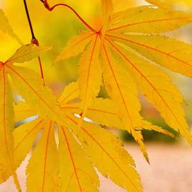 Golden Maple Leaves by Marla McPherson