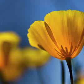 Saija Lehtonen - Golden Poppy Reaching for the Skies