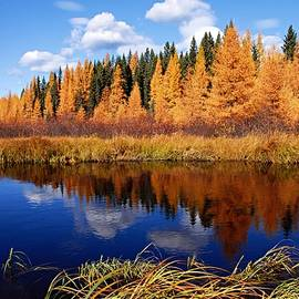 Larry Ricker - Golden Tamaracks along the Spruce River