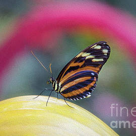 Golden Tiger Longwing Butterfly by Sharon McConnell