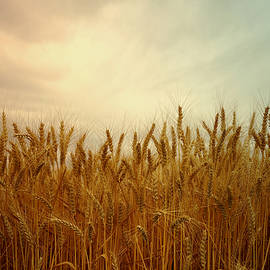 Golden Wheat by Kae Cheatham