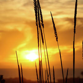 Golden Wheat by Kip Krause