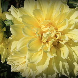 Dora Sofia Caputo Photographic Design and Fine Art - Golden Yellow Dahlias
