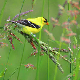 Dorothy Pugh - Goldfinch in a Meadow