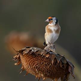 Goldfinch by Veselin Gramatikov