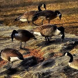 Robert McCubbin - Goose Gathering