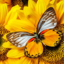 Gorgeous Butterfly On Sunflowers - Garry Gay