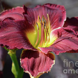 Ruth Housley - Gorgeous Daylily 3