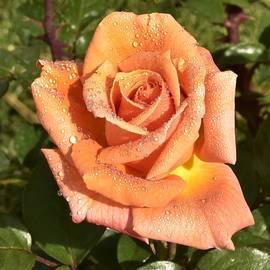 Gorgeous Orange Rose Macro II by Linda Brody